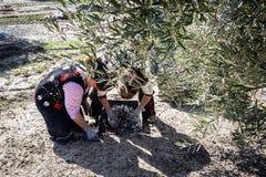 Kobieta rolnicy podczas kampanii oliwka w polu oliwka Fotografia Stock