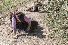 Kobieta rolnicy podczas kampanii oliwka w polu oliwka t Zdjęcie Stock
