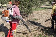 Kobieta rolnicy podczas kampanii zbierać oliwki Fotografia Royalty Free