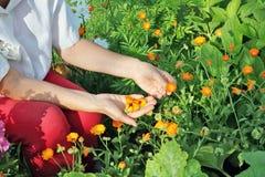 Kobieta rolnik łama kwiaty medyczny nagietek obrazy stock