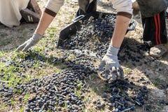 Kobieta rolnik kolana na ziemi podczas oliwnego żniwa Fotografia Royalty Free