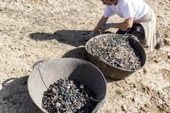 Kobieta rolnik kolana na ziemi podczas oliwnego żniwa Obraz Royalty Free