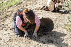 Kobieta rolnik podczas oliwnej żniwo kampanii Obraz Stock