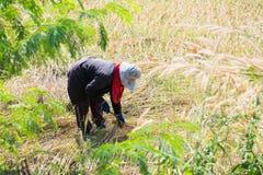 Kobieta rolnik zbiera ryż w polu Fotografia Royalty Free
