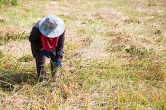 Kobieta rolnik zbiera ryż w polu Obraz Royalty Free