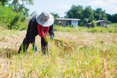 Kobieta rolnik zbiera ryż w polu Obrazy Royalty Free