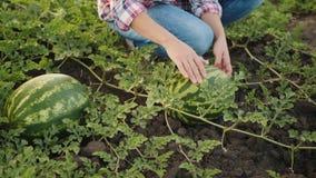Kobieta sprawdza arbuz uprawy przy polem zbiory