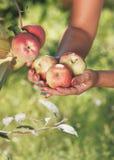 Kobieta trzymający czerwonych jabłka w ręce fotografia royalty free