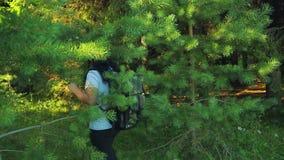 Kobieta turysta z plecakiem przechodzi przez sosen Strzelać od plecy zdjęcie wideo