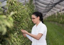 Kobieta w jabłczanym sadzie w wiośnie Zdjęcie Royalty Free