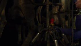 Kobieta w kombinezonach przygotowywa krowy dla doić zdjęcie wideo