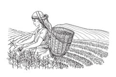 Kobieta w tradycyjnych ubraniach zbiera herbacianych liście ilustracja wektor