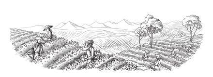 Kobieta w tradycyjnych ubraniach zbiera herbacianych liście ilustracji