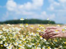 Kobieta wręcza mienie rumianki w polu na pogodnym letnim dniu fotografia royalty free