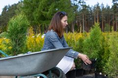 Kobieta wybiera iglastego drzewa przy plenerow? ro?liny pepinier? zdjęcia stock
