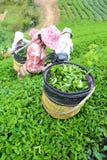 Kobieta wybory herbaciani w ogródzie Obrazy Royalty Free