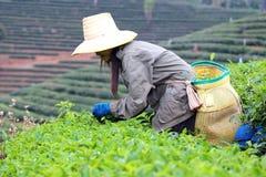 Kobieta wybory herbaciani w ogródzie Obraz Royalty Free