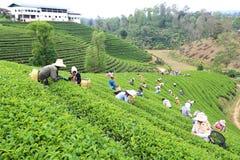 Kobieta wybory herbaciani w ogródzie Zdjęcie Royalty Free
