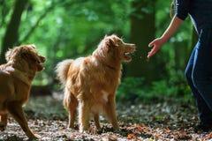 Kobieta z jej psami w lesie Obraz Stock