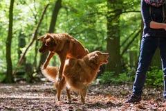 Kobieta z jej psami w lesie Zdjęcia Royalty Free