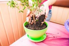 Kobieta zasadza houseplant w garnku obrazy royalty free
