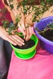 Kobieta zasadza houseplant w garnku obrazy stock