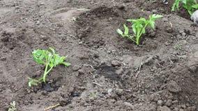 Kobieta zasadza młode pomidorowe rośliny w ogródzie, nawadnia one i kopie w ziemi, zbiory wideo