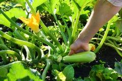 Kobieta zbiera świeżego Zucchini Zucchini kultywacja Zrywań potomstw Zucchini Narastający młody kabaczek w kobiety ręce w ogródzi Zdjęcia Royalty Free