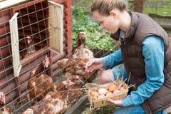 Kobieta zbiera świeżych jajka w kosz przy karmazynki gospodarstwem rolnym w kraju Zdjęcia Stock