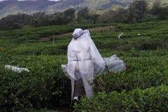Kobieta zbiera herbacianych liście w Mauritius Obrazy Royalty Free
