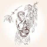 Kobieta zbiera kawowe jagody w koszu ilustracji