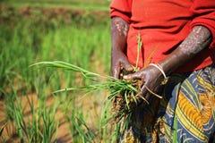 Kobieta zbiera ryż na polu w Rwanda, Afryka Obraz Royalty Free
