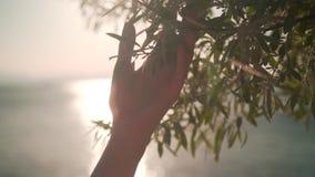 Kobiety ślizgowa ręka zielony ulistnienie w zwolnionym tempie Żeńska ręka dotyka powierzchnię jaskrawi krzaki w zmierzchu słońcu zdjęcie wideo