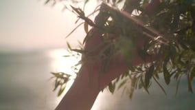 Kobiety ślizgowa ręka zielony ulistnienie w zwolnionym tempie Żeńska ręka dotyka powierzchnię jaskrawi krzaki w zmierzchu słońcu zbiory
