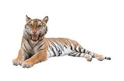 Kobiety Bengal tygrys odizolowywający zdjęcia stock