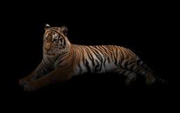 Kobiety Bengal tygrys w zmroku Zdjęcia Stock