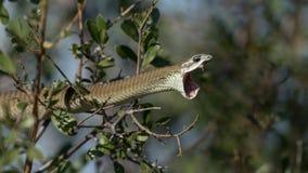 Kobiety Boomslang wąż w Botswana Obrazy Stock