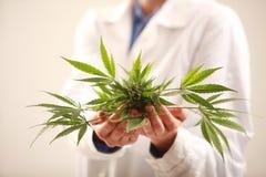 Kobiety doktorski mienie marihuana leaf i oliwi alternatywna wanny bambusa biloba rzeczy ginkgo leków, tray w spa zdjęcie stock