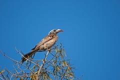 KOBIETY dzioborożec POPIELATY ptak zdjęcia royalty free
