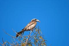 KOBIETY dzioborożec POPIELATY ptak obrazy royalty free