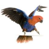 kobiety eclectus papuga Fotografia Royalty Free