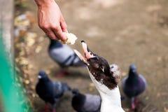 Kobiety karmienia kaczka zdjęcia stock