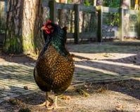 Kobiety kopia zasznurowywał Barnevelder kurczaka, popularny holenderski hybrydowy traken kurczaki które produkują brązów jaj fotografia royalty free