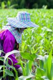 Kobiety Lahu plemienia rolnik stosuje u?y?niacz dla kukurudzy, przejrzysty kukurydzany pole w ranku ?wietle pla?owego d?d?ystego  zdjęcie royalty free