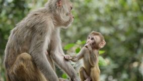 Kobiety małpa z lisiątkiem zbiory wideo
