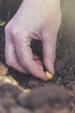 Kobiety obsiewania cebule w organicznie jarzynowym ogródzie Obrazy Stock