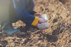 Kobiety obsiewania cebule w organicznie jarzynowym ogródzie Obrazy Royalty Free