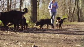 Kobiety odprowadzenie z bernese pasterskiego psa szczeniakami zdjęcie wideo