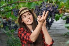 Kobiety ogrodniczki zrywania winogrono Fotografia Royalty Free
