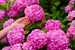 kobiety opieka kwiaty w ogródzie hortensja Miękka część i oferta Wiosna i lato Ogrodniczka z kwiatami charcica obraz stock